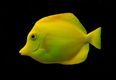 Yellow Tang Fish Zebrasoma