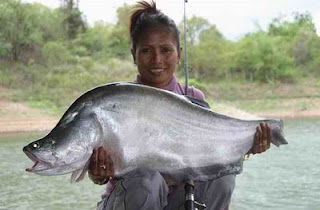 The Giant Featherback Or Chitala Lopis Is A Fish That Native To Mekong River Basin Where You Can Find Many Different Species Of Including