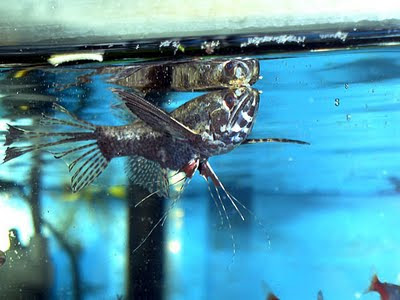 Fish index african butterfly fish pantodon buchholzi for African butterfly fish