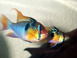 Ram Cichlid