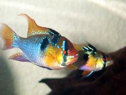 Ram Cichlid