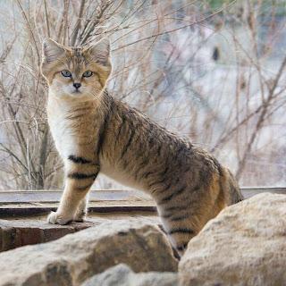 http://1.bp.blogspot.com/_cmgPTvpqLRQ/TRnbpurCMSI/AAAAAAAAC4k/9BlXSJx2eWE/s320/sandcat.jpg