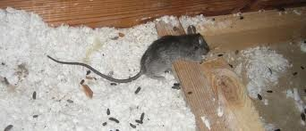 Long Island Pest Control Mouse In Your House