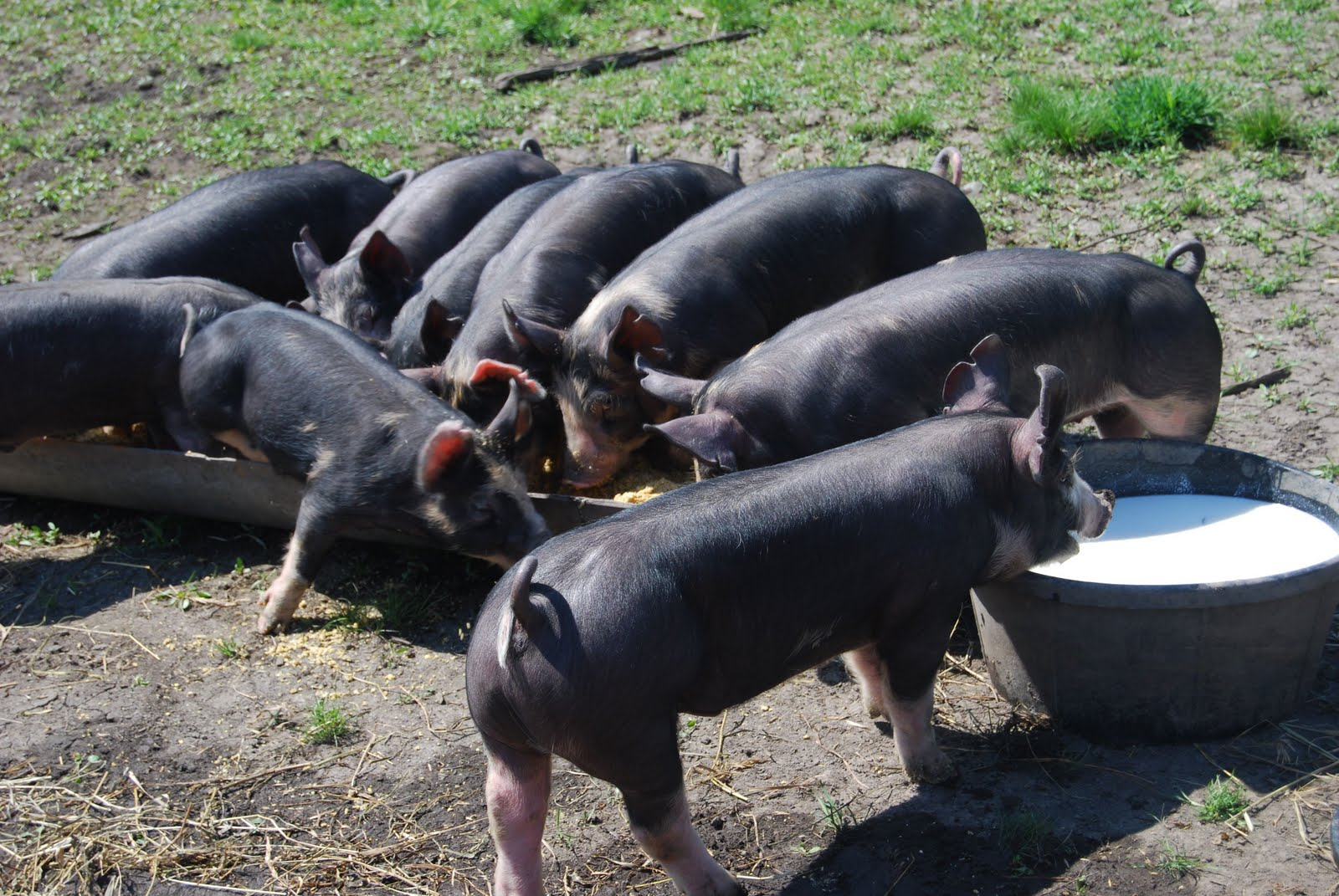 swine raising Enroll in the swine project where members learn to select, manage and show   select, raise and show a market hog members must own all.