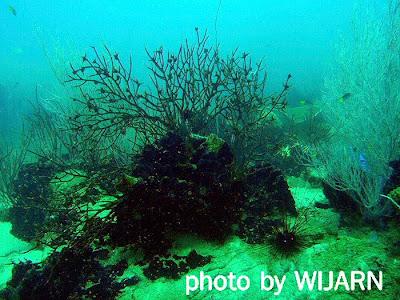 ปะการังดำ