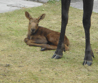 cute little baby moose