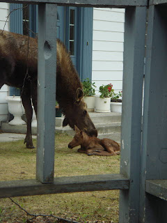 moose in neighborhood in Flatrock