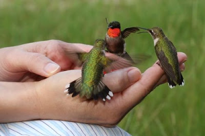 feeding the hummingbirds