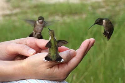 hummingbirds as pet