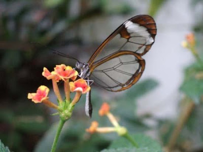 special butterfly with transparent wing