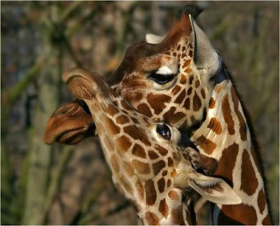 wonderful love giraffes