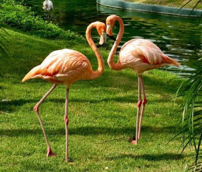 love couple flamingo
