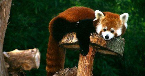 [red-panda-006.jpg]