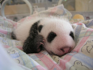 baby panda trying it first move
