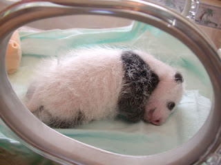 cute sleeping baby panda