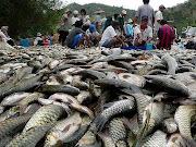 Harvesting River Fish in Sabah...
