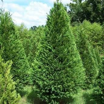 real christmas trees