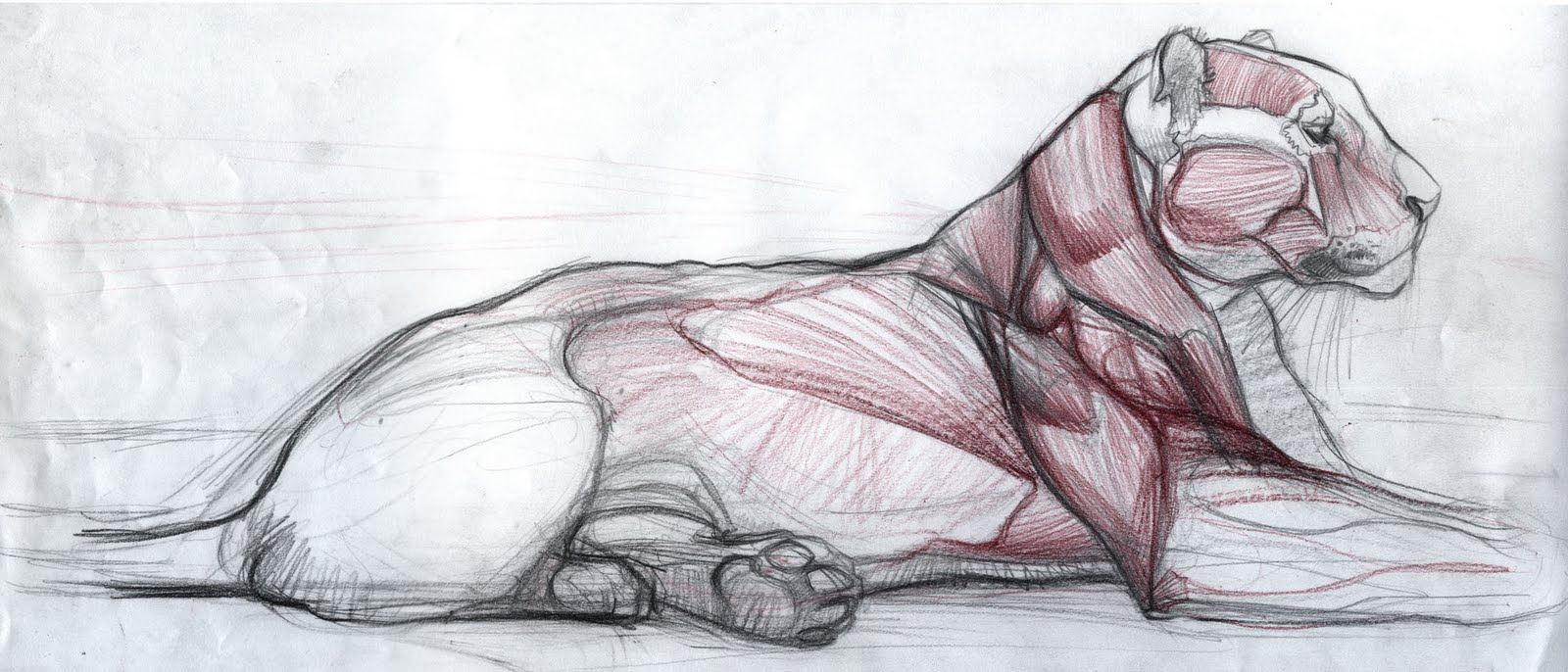 Tiger Muscle Anatomy Image collections - human body anatomy