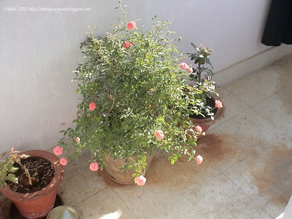 My balcony garden roses - When to plant roses ...