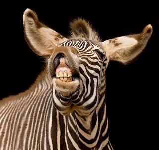 Smiješne slike Funniest_zebra_ever