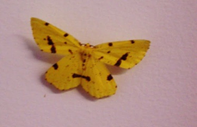 False Crocus Geometer, Xanthotype urticaria