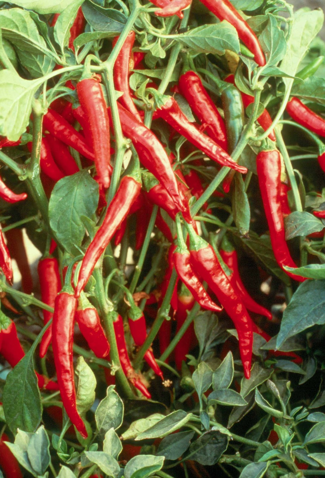 Plant preview quick note growing hot peppers in the kitchen garden - Planting pepper garden ...