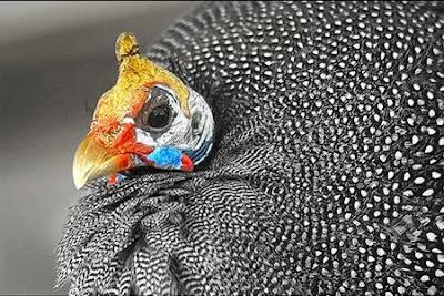 goodlookingchicks03fu2 Koleksi Gambar Ayam Tercantik Dunia