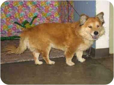 corgi chow for adoption dog breeds picture dog ready for adoption