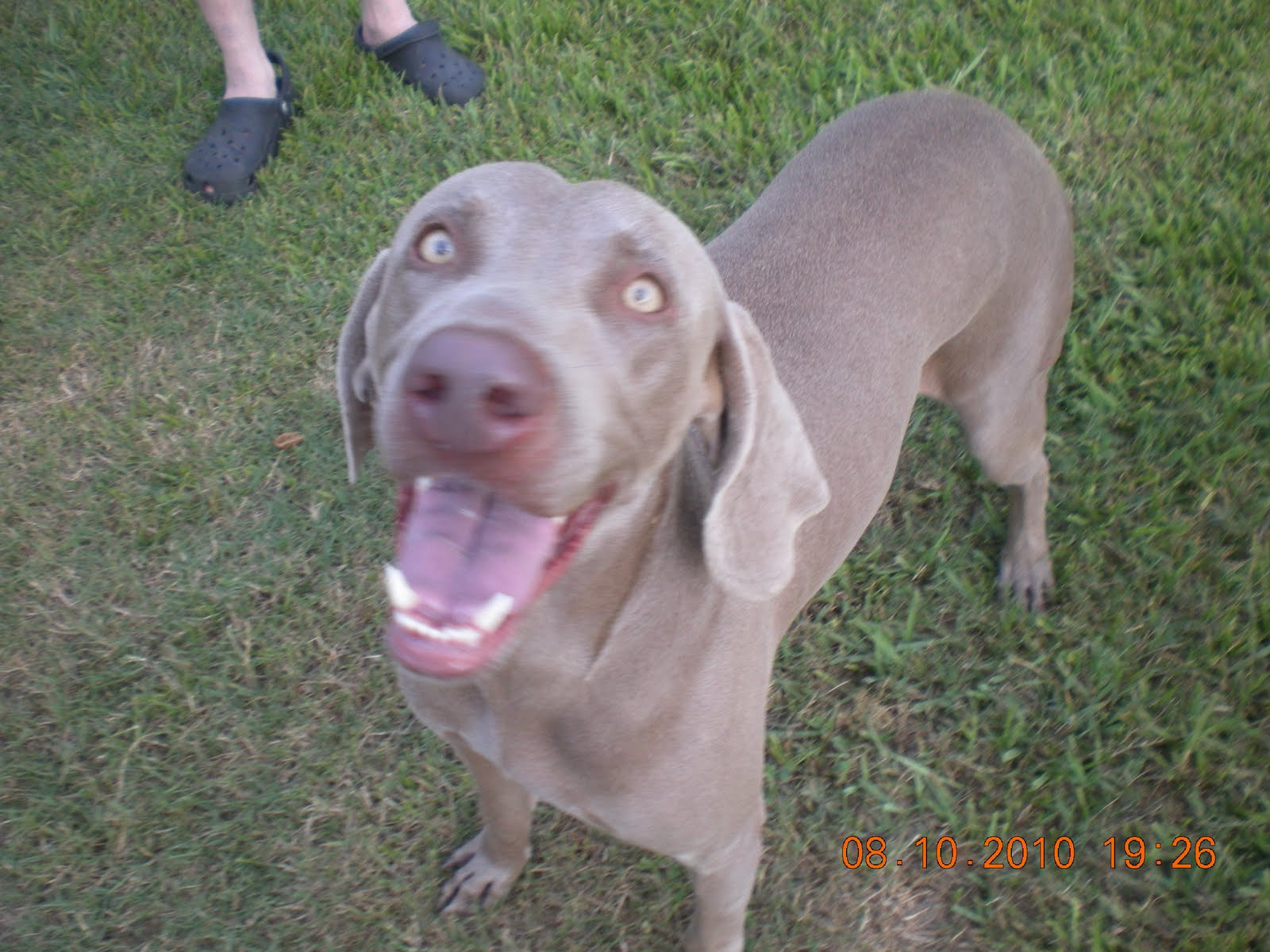 ... weimaraner pitbull mix displaying 14 images for weimaraner pitbull mix