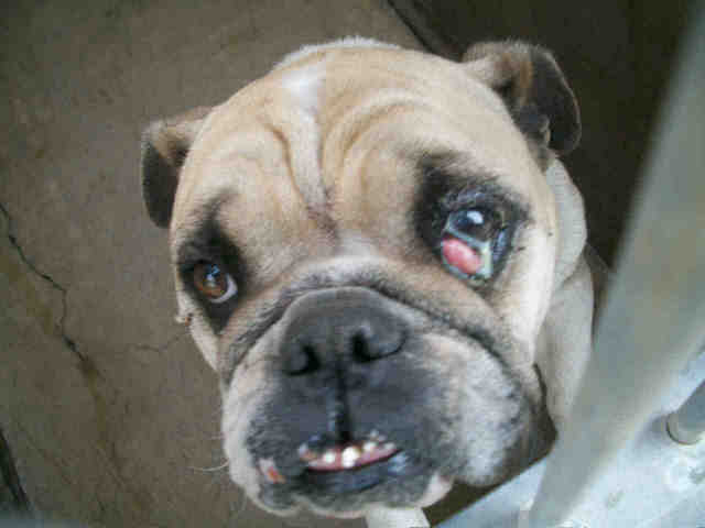 ... Urgent! Pug mix? English Bulldog? Special needs mix breed dog A1068393