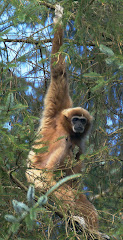 GIBBON A MAINS BLANCHES
