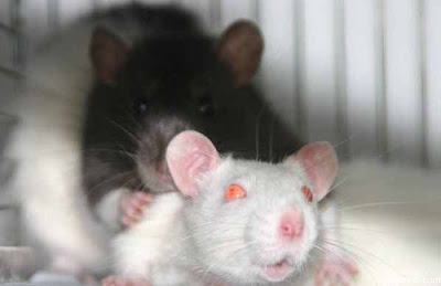 black and white Rats mating/Rats Rats pics