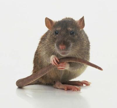 Rats tail/Rats plague/Rats of nimh