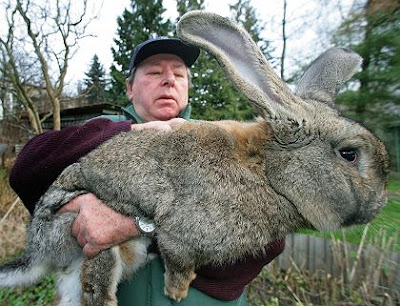 cute and big Giant Rabbit pics-pitures gallery
