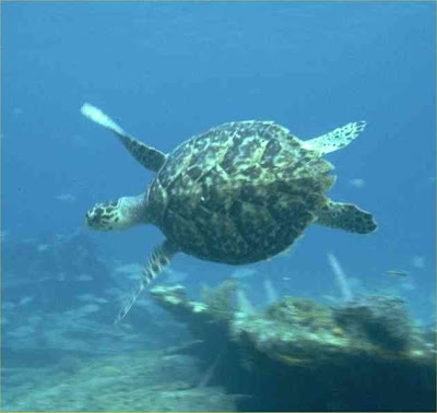 pictures of sea Turtles swimming pics wallpapers gallery