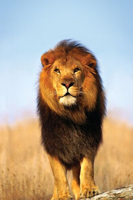 african lions main/male lions/lions walking video pics