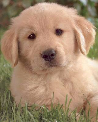 images of golden retriever dog/pups/puppies wallpapers gallery