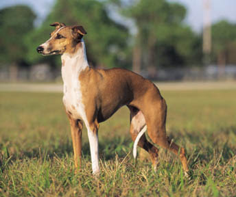 italian_greyhound dog/running/racing pictures/photos