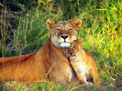 lions-lions-lions new logo