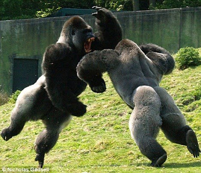 Gorillas fighting video pics