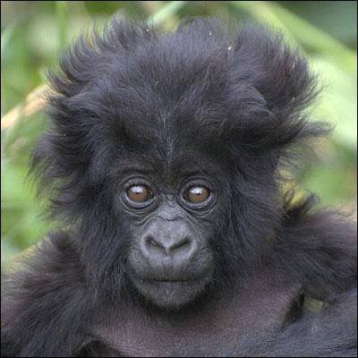 Gorillas pictures|Gorillas wallpapers|Gorillas pics