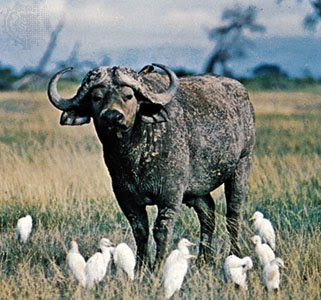 wild life of African white buffalo video pics