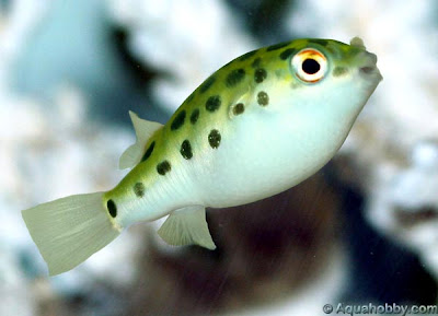 Free Downloading wallpapers of puffer fish photos