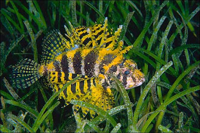 yellow lionfish in fresh water images