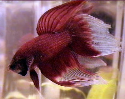 veil tail fish in fresh water images