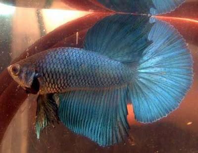 cute aquarium blue color fringe tail fishes photo gallery