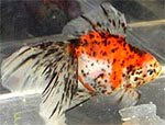 Red white spotted Ryukin Aquarium goldfish images