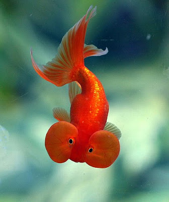 Free downloadin wallpapers of Bubble eye goldfish