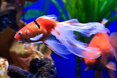 Fancy aquarium gold fishes pictures