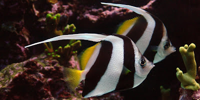 Cute Pair of heniochus fishes photo gallery